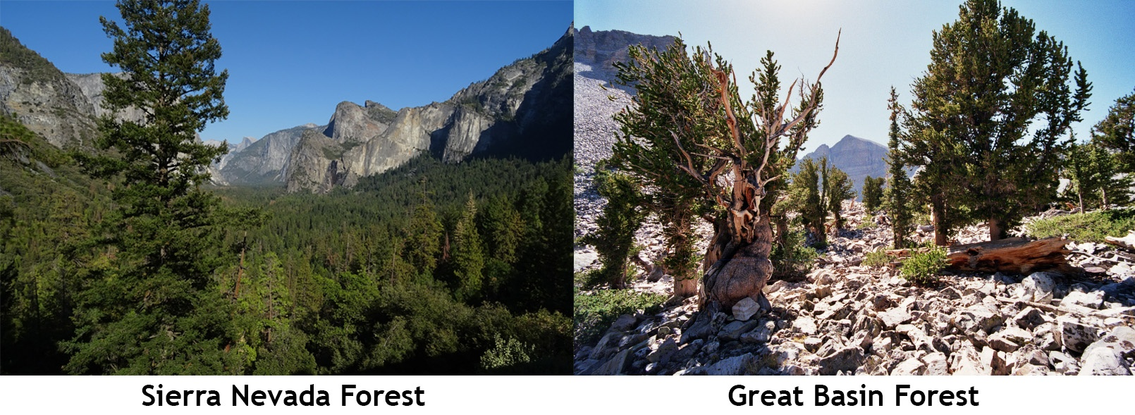 Sierra Nevada Forest Compared to Great Basin Forest