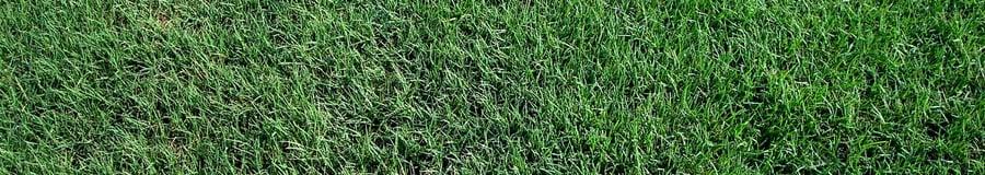 Tif Bermuda Grass