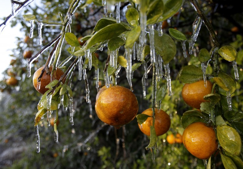 Ice on Oranges in Florida