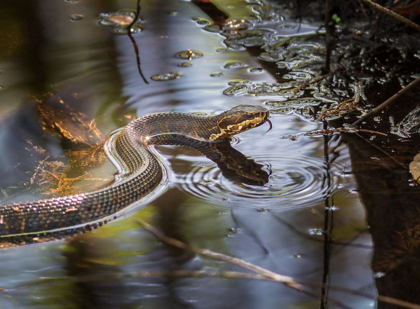 Swimming Cottonmouth Snake