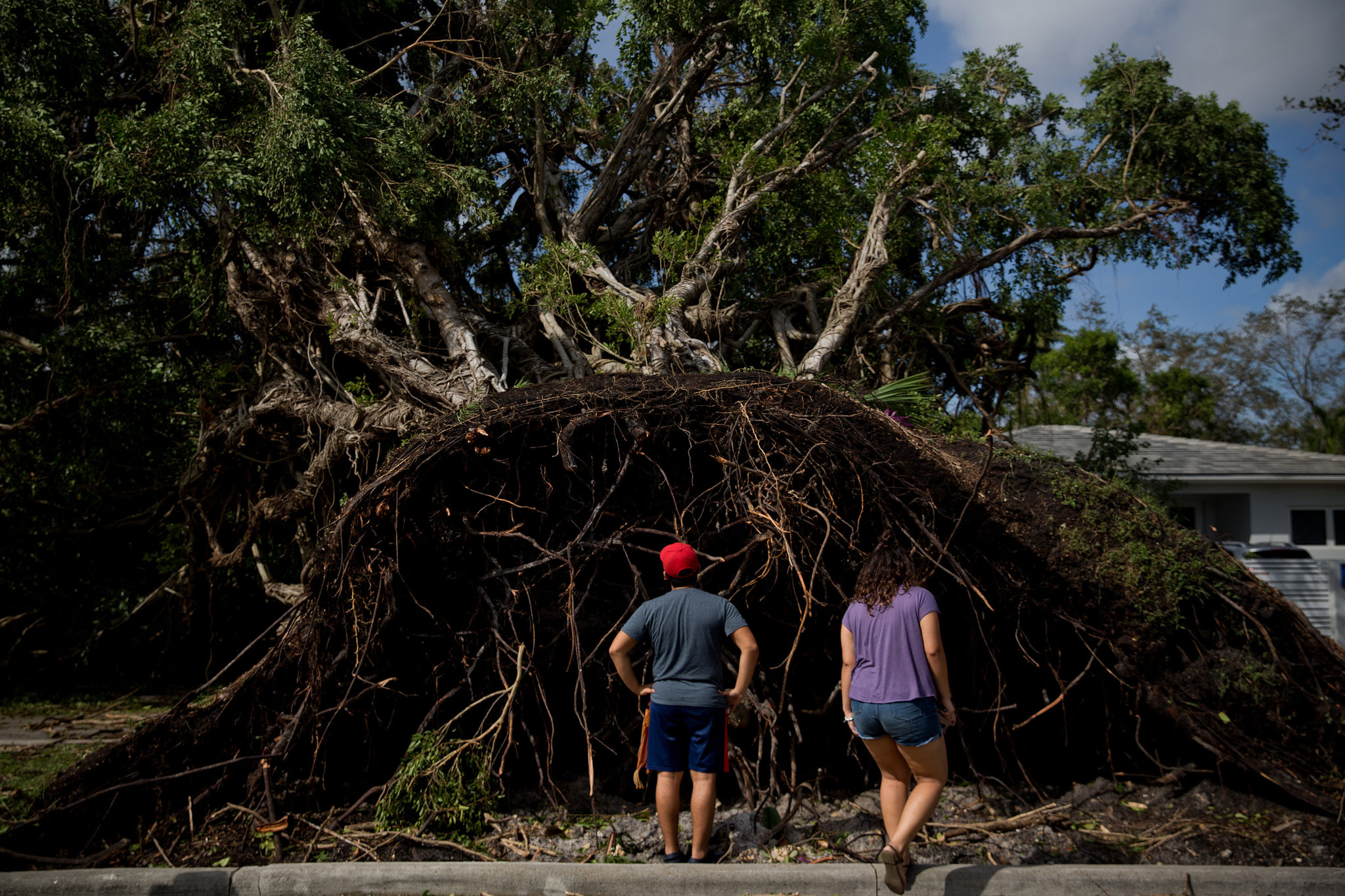 Fallen Trees from Saturated Ground (Credit Scott McIntyre for The New York Times)