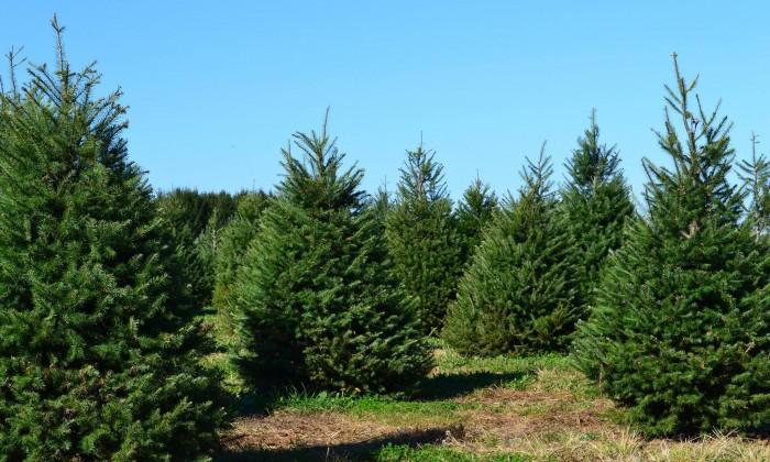 Christmas Tree Farm in Long Island, New York