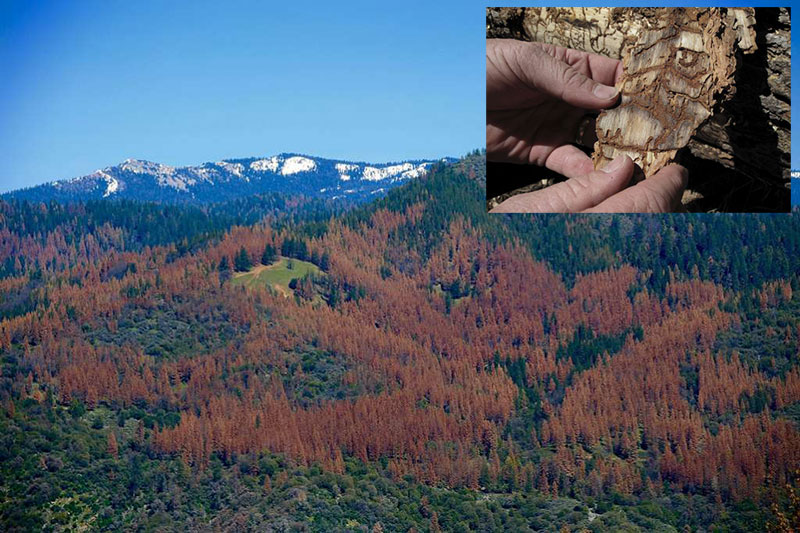 Drought and Bark Beetles - A Sierra Nevada Nightmare